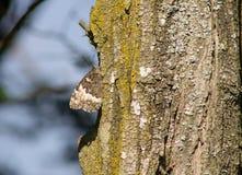 Camuflaje de la mariposa en la madera Fotos de archivo
