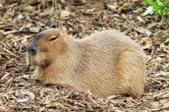 Camuflaje del Capybara Imagen de archivo