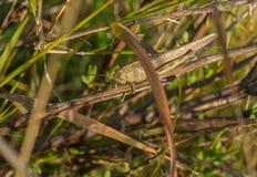 Camuflaje marrón gigante de la vegetación del saltamontes Foto de archivo libre de regalías