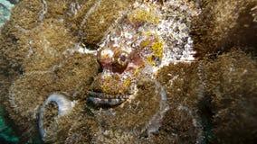 Camuflar de pedra dos peixes no recife Imagens de Stock Royalty Free