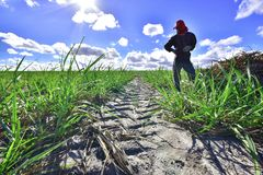 Canção sugar plantation, State of Alagoas. Brazil. A man, a rural worker in a cane field collecting dry straw to supply the Cattle Royalty Free Stock Photography