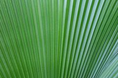 Texture of leaves of Livistona rotundifolia stock photo