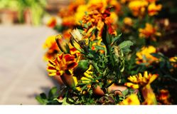 Mesmerizing marigolds for nature lovers Stock Photo