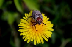 May bug on a dandelion flower. Stock Photo