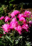 Pink garden flower. It can be used to create a greeting card or an illustration on the theme of gardening stock photo