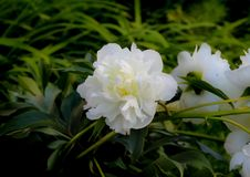 White garden flower. It can be used to create a greeting card or an illustration on the theme of gardening royalty free stock image