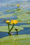 Can-dock. Yellow water lily in water with reflection Stock Images
