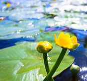 Can-dock. Yellow water lily in water with reflection Royalty Free Stock Photos