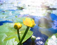Can-dock. Yellow water lily in water with reflection Royalty Free Stock Image