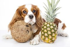 Can dogs eat fruit illustration. Tropical fruit and cavalier king charles spaniel dog. Dog with fruit food. Dog health care. Cute Royalty Free Stock Image