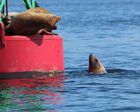 Can I come up there? Sea lions in Alaska. Sea lions on a buoy in Juneau, Alaska. The one on the buoy very vocally made it clear that the poor fella in the water stock images