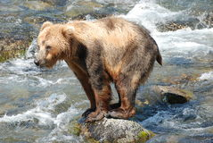 Can I Fit On The Rock ?. A brown bear standing on a rock sunning himself at Brook s River Royalty Free Stock Images