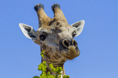 Can I help you?  - Kruger National Park Royalty Free Stock Photo