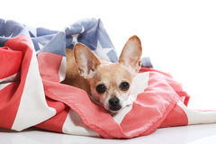Can i stay?. Chihuahua wrapped in american flag Royalty Free Stock Image