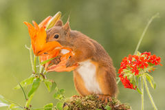 Can not resist. Close up of  a red squirrel holding and smelling  orange lily flowers Royalty Free Stock Image