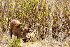 They can not see me -  The common warthog Stock Photography