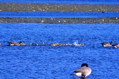 We can see the lots of goslings in May. stock images