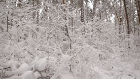 We can see the snow-covered trees and bushes winter forest, however, to determine the names of the vegetation is almost stock video footage