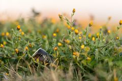 A can of soda in the field lying in the grass and flowers royalty free stock images
