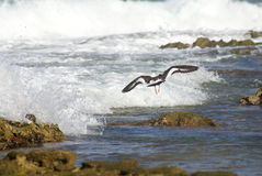 Can't touch me. An American Oystercatcher flying at the beach Stock Photography
