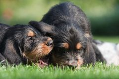Can you hear me. Comical scene of two cute Otterhound puppies in the garden. One of them seems to tell something to the other stock photos