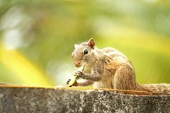 Tiny Squirrel Sri Lanka royalty free stock photo