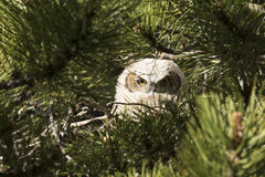 Can you see me. A baby great horned owl sitting on nest in pine tree Stock Images