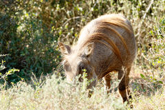 Can you see mee - Phacochoerus africanus The common warthog. Can you see mee - Phacochoerus africanus - The common warthog is a wild member of the pig family royalty free stock image