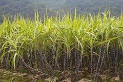 Cana-de-açúcar imagem de stock