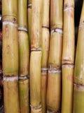 Cana-de-açúcar da temporada de verão na área imagem de stock royalty free