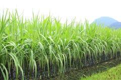 Cana-de-açúcar no campo imagem de stock royalty free