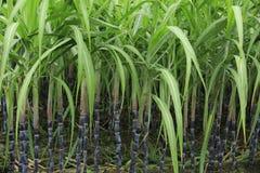 Cana-de-açúcar no campo imagens de stock royalty free