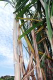 Cana-de-açúcar no pleno campo imagem de stock royalty free