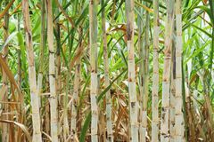 Cana-de-açúcar após a planta Foto de Stock