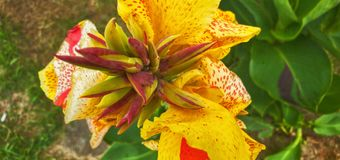 Cana lily blooms after April and May showers. Flower, floral royalty free stock photography