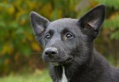 canaan σκυλί Στοκ Εικόνες