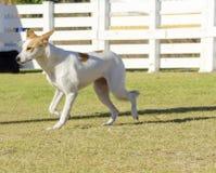 canaan σκυλί στοκ εικόνες με δικαίωμα ελεύθερης χρήσης