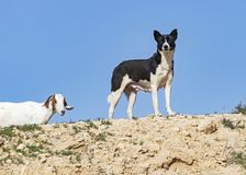 Canaan Dog Stands Watch sobre suas cabras foto de stock