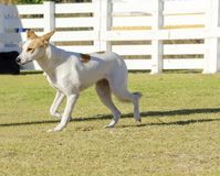 Canaan Dog. A young, beautiful, white and cream, brown, orange sable Canaan walking on the grass looking happy and playful. Kelef K'naani dogs are medium sized royalty free stock images