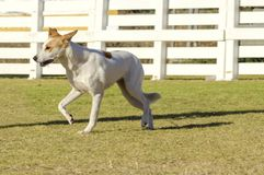 Canaan Dog. A young, beautiful, white and cream, brown, orange sable Canaan walking on the grass looking happy and playful. Kelef K'naani dogs are medium sized stock images