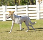 Canaan Dog. A young, beautiful, white and cream, brown, orange sable Canaan walking on the grass looking happy and playful. Kelef K'naani dogs are medium sized stock photo