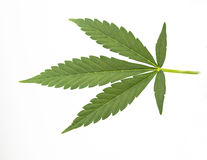 Canabis leaf Stock Photo