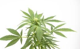 Canabis roślina Zdjęcia Royalty Free