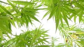 Canabis verdes en granja del campo de la marijuana metrajes