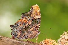 Canace/бабочка Kaniska на дереве, выглядеть как карта Стоковое Изображение