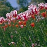 Canadá 150 tulipanes Fotos de archivo libres de regalías