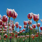 Canadá 150 tulipas Fotografia de Stock Royalty Free