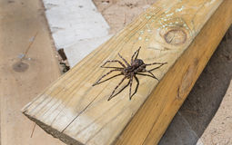 Canada's largest spider sitting on a piece of 4x4 lumber. Canada's largest creepy looking spider, the Dock spider of the Pisauridae family, (Dolomedes sp) Royalty Free Stock Photography