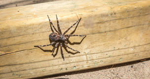 Canada's largest spider sitting on a piece of 4x4 lumber. Canada's largest creepy looking spider, the Dock spider of the Pisauridae family, (Dolomedes sp) Stock Images