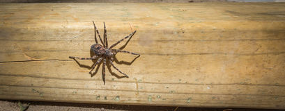 Canada's largest spider sitting on a piece of 4x4 lumber. Canada's largest creepy looking spider, the Dock spider of the Pisauridae family, (Dolomedes sp) Stock Photos